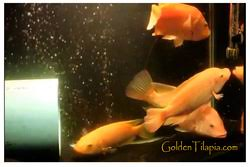 Breeder Colony Consist Of 1 Male Golden Tilapia And 3 Female With Ideal Breeding Conditions Will Produce Up To 4000 Fries