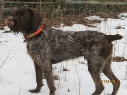 Griffon German Wirehaired Pointer Shedding by The Wirehaired Pointing Griffon Rare Talented Purebred
