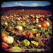 Tanaka Farms Pumpkin Patch by The Spooky Vegan 31 Days Of Halloween A Visit To The Tanaka