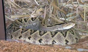 Shed Snake Skin Pictures by Assisting Snakes During U201cdry Sheds U201d And Other Skin Shedding
