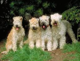 Do Wheaten Terriers Shed by The Soft Coated Wheaten Terrier Playful Irish Ratter