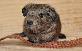 Pine Bedding For Guinea Pigs by Diy Guinea Pig Toys The Best Guinea Pig Toys You Can Make