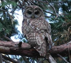 Christmas Tree Types In California by California Spotted Owl Los Padres Forestwatch
