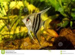 poisson eau douce aquarium tropical un bel aquarium d eau douce tropical planté vert avec le scalare