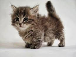 munchkins cats this is a baby munchkin cat and its so