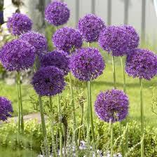 allium aflatunense purple sensation allium allium flowers and