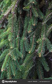Christmas Tree Names by Fir Branches Blue Lush Spruce Branch Textured Background Green