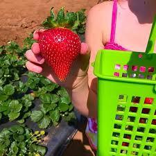 Pumpkin Patch Farm Temecula by Kenny U0027s Strawberry Farm Temecula The Typical Mom