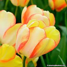 darwin tulip bulbs of american