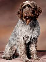 Griffon German Wirehaired Pointer Shedding by Wirehaired Pointing Griffons A Guide To Dogs And Puppies Of The