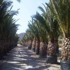 prix des palmiers exterieur palmier canariensis grand sujet bio jardins