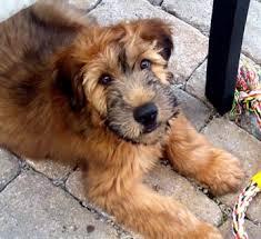 wheaten terrier so cute wheaten terrier adorable animals