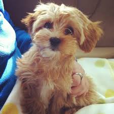 Do Cavapoos Shed A Lot by Latte Toy Cavoodle Pocket Puppies In Their New Homes