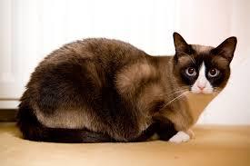 snowshoe cat snowshoe cat siamese like cat as pet about pet