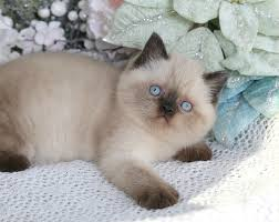 shorthair cat price seal point shorthair himalayan kitten for saleultra
