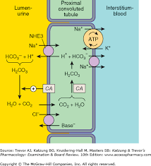 High Ceiling Diuretics Ppt by Chapter 15 Diuretic Agents Katzung U0026 Trevor U0027s Pharmacology