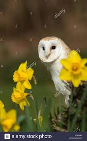 Daffodils Cornwall Stock Photos & Daffodils Cornwall Stock Images ... Heligan Celebrates Three Wins At 2014 Visit Cornwall Awards Leucistic Crows Wwildlifekatecouk Looduskalender View Topic Owls Around The World Tawny Owl On Nest Box Camera Youtube My Inspiration I Begin A Journey Into Dslr Trapping Www Stow Maries Heaven Mrscbo Gets Aggressive With Cam Barn Trustwildlifetv Chicks Farm Uk Stock Photos Images Alamy Blackbird Nest Drama Kestrels Little And Red Squirrels Uglybug Jackdaw