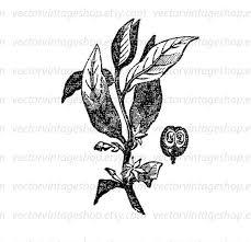 Coffee Plant Clipart Caffeine 1