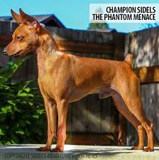 do miniature pinscher mix shed miniature pinscher grooming bathing and care espree animal products