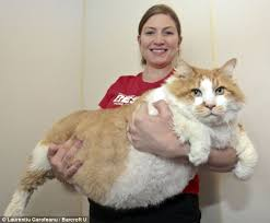 fatty liver cats the fattest cats on the