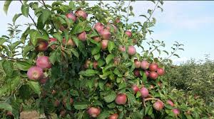 Best Apple Picking Orchards Farms In New York New Jersey  CBS