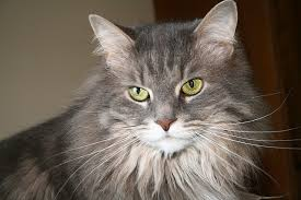 Do Maine Coons Shed In The Summer by How To Tell If Your Maine Coon Is A Mix Mainecoon Org