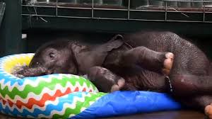 Adorable Baby Elephant Takes A Dip In Kiddie Pool At The Dallas Zoo