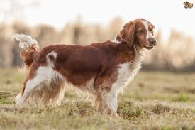 Springer Spaniel Shed Hunting by Welsh Springer Spaniel Dog Breed Information Buying Advice