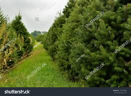 Holiday Christmas Tree Farm With Almost Grown Pine Trees
