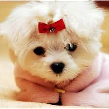 Small Dogs That Dont Shed by Breeds Of Dogs That Stay Small And Don T Shed Breed Dogs Picture