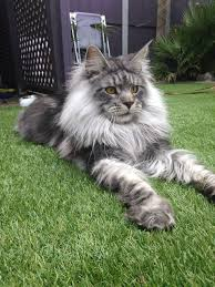 forest cat vs maine coon dashiell our fabulous forest cat more than 3