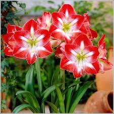 amaryllis bulb amaryllis bulbs amaryllis bulb kit target