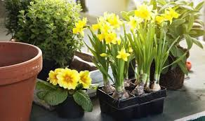 how to grow miniature narcissi and daffodils by alan titchmarsh