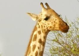 West African Giraffe Giraffes