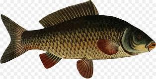 Carp Koi Freshwater Fish Clip Art