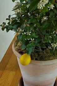 the 25 best meyer lemon tree care ideas on meyer