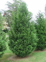 Christmas Tree Aphids by Leyland Cypress U2013 Alternative Christmas Tree For The South What