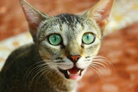 cat dental care care for cats