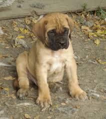 Do Bullmastiffs Shed A Lot by English Mastweiler Rottweiler English Mastiff Mix Info Puppies