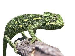 Basking Lamp For Chameleon by Sahel Chameleon For Sale Reptiles For Sale