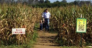 Pumpkin Patch And Corn Maze Milton Fl by Fall Returns With Pumpkin Patches And Corn Mazes