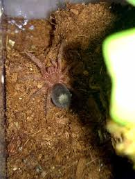 how do i know if my tarantula is in premolt tom s big spiders