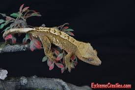 Halloween Harlequin Crested Gecko For Sale by Extreme Cresties Available Male Crested Geckos Home Of High