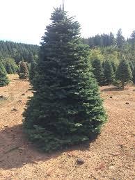 Pasadena Christmas Trees