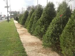 Plantable Christmas Trees Nj by Christmas Tree Farms In Nj