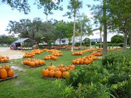 Pumpkin Patch In Orlando Fl by The Beach Whispering Pines Farm