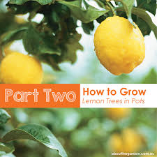 part 2 how to grow potted lemon trees about the garden magazine