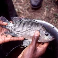 The Current Tilapia Situation In Texas