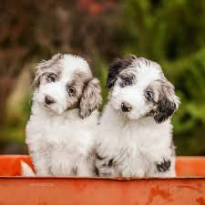 Do F1 Sheepadoodles Shed by Aussiedoodle Puppies Aussiedoodles Pinterest Animal Dog And Pup