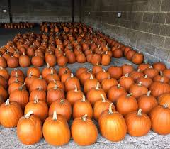 Varieties Of Pumpkins Uk by Pick Your Own Pumpkins And Pumpkin Patches Uk Highlights 2017